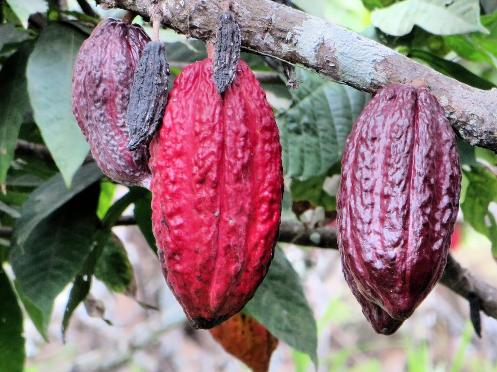 Cocoa pods hanging in a tree