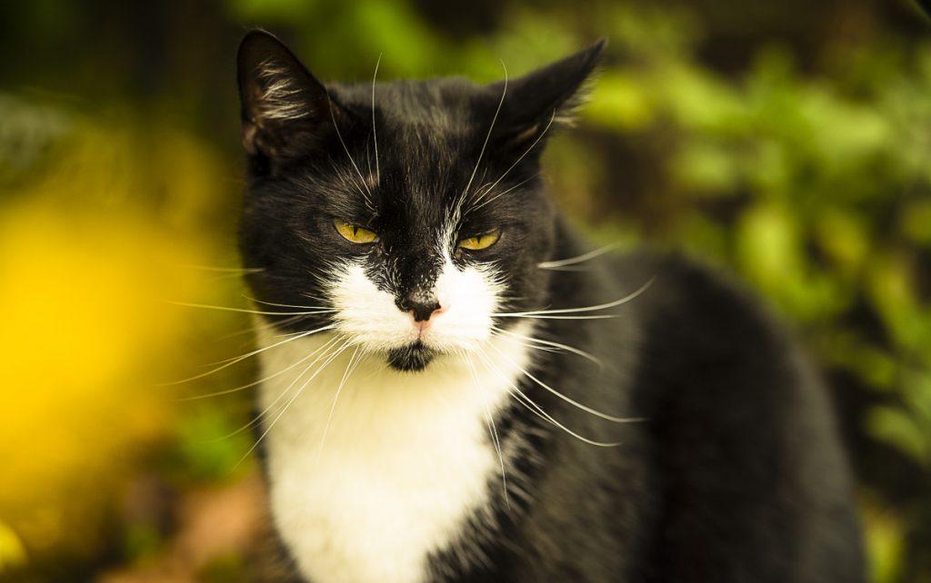 Sly the tuxedo cat